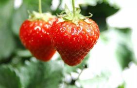 草莓转赚钱是真的吗?草莓转是真的吗?